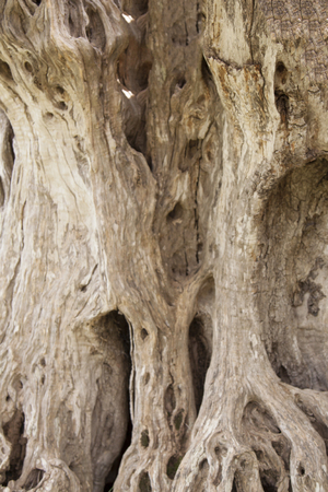 Secular olive tree Archivio Fotografico