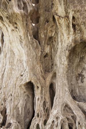 Secular olive tree Stock fotó