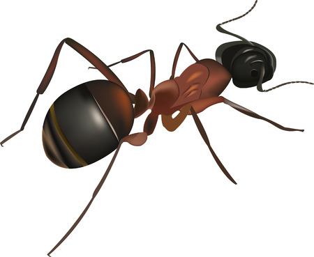hormiga roja en primer plano