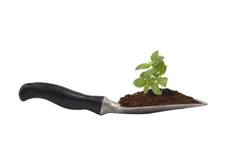scoop with soil and basil seedling for transplanting