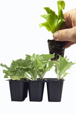 farmer hand extracts salad seedling from container