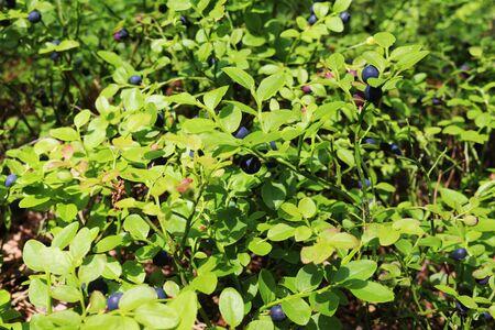 bilberry: Bush bilberry