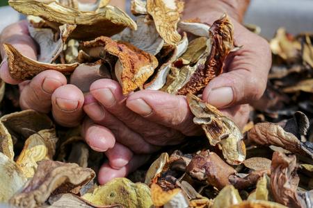 cep: A lot of dried mushrooms. Elderly man holds in his hands a lot of good dried mushrooms.Mushroom boletus. Cep boletus