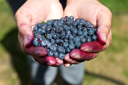 plucking: Fresh blueberries in womans hands after collecting in the woods