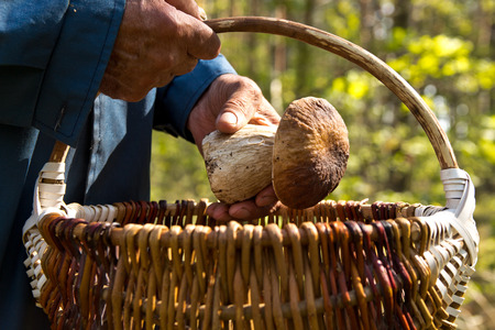 basketful: The search for mushrooms in the woods. Mushroom picker. An elderly man puts a white mushroom in the basket.