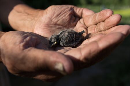 Newborn chick swallows on hand. The chick fell out of the nest. The concept of helping birds and animals Stock fotó - 126307963