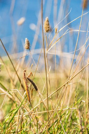 Brown colored adult male European mantis camouflaged in grass on the Bulgarian sea-shore