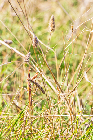 Brown colored adult male European mantis looking at the camera camouflaged in grass on the Bulgarian sea-shore