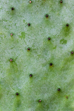 Opuntia Cactus leaf texture closeup, abstract background