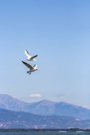 Two gulls in the sky over Lake Kerkini, Greece, a blurred mountain range in the distance Reklamní fotografie - 104442114