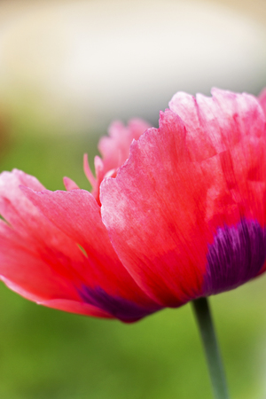 Beautiful side close view of a June pink poppy flower, Papaver somniferum on a blurred background