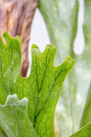 Close-up of Platycerium bifurcatum, elkhorn fern or common staghorn fern venation, blurred Platycerium bifurcatum background