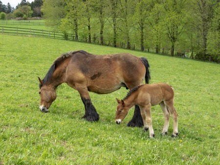 Ardennes foal standing next to its grazing mother mare in a Belgian May meadow