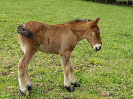 Close picture of an Ardennes foal in a Belgian pasture