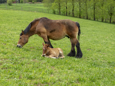 Ardennes foal reposing next to its grazing mother in a Belgian May meadow