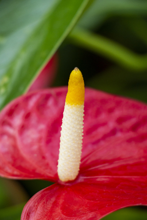 Close-up of the white and yellow tipped spadix on a blurred bright red spathe leaf of Anthurium andraeanum flower Reklamní fotografie