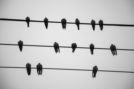 Close picture of European barn swallows on wires on a rainy July day as seen from below