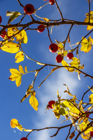 October dog rose, Rosa canina branches with hips on a blue sky background, selective focus Standard-Bild