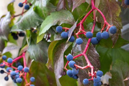 Close-up of October Virginia creeper, Parthenocissus quinquefolia berries and leaves, selective focus Foto de archivo - 133552791