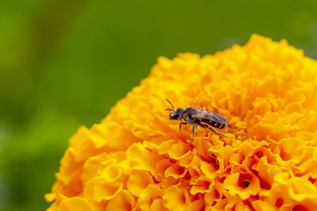 Close-up of a honey bee on an African marigold flower, partial view, blurred natural green background