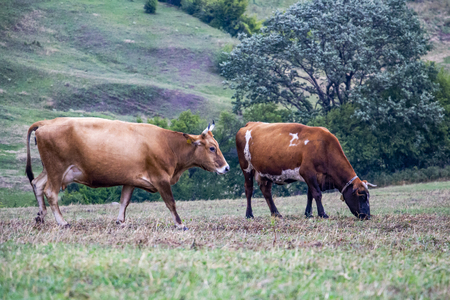 Two horned brown cows in a pasture at the foot of a Bulgarian Rhodopes hill on a rainy July day