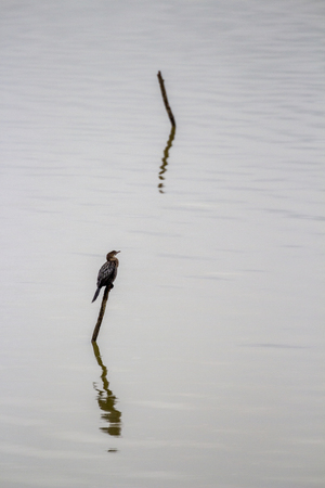 Lonely Pygmy cormorant, Microcarbo pygmaeus on a wooden stick in the water of Lake Kerkini, Greece in winter Stock Photo