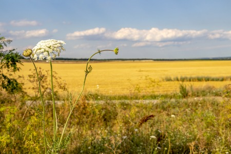 Beautiful countryside agricultural landscape with Daucus Carota, wild carrot flowers in the foreground, blurred stubble field and June cloudy sky in the background