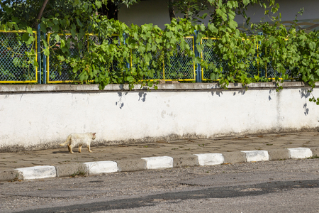 Stray injured and sick white long-haired tomcat passing along a concrete fence in the Bulgarian village of Krepost, Haskovo Province