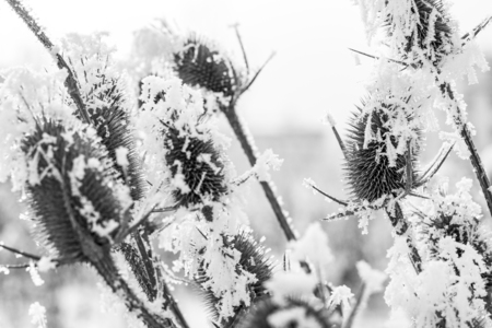 December wild teasel flower heads covered with frosted snow, selective focus, black and white photography