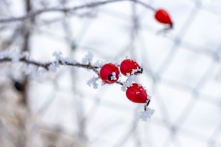 December dog rose branch with hips covered with frost, selective focus, blurred wire netting in the background 스톡 콘텐츠