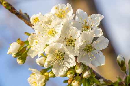 Close-up of sunlit white March cherry blossoms on natural blurred background
