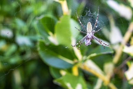 Argiope spider on an orb web with a prey, in Krum, Bulgaria