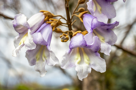 Close-up of beautiful April Paulownia tree blooming flowers in Krum, Southern Bulgaria