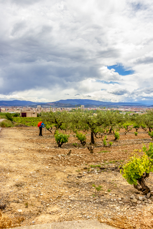 Unidentified male pilgrim in a vineyard with olive trees in La Rioja, Spain, the town of Logrono in the background
