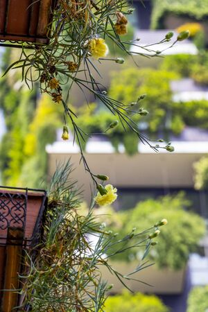 Yellow Carnations, Dianthus caryophyllus hanging out of the pots in front of a blurred Bosco Verticale or Vertical Forest residential tower in Milano, Lombardy Italy, abstract picture