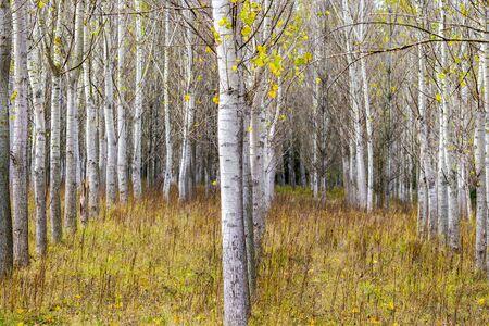 Filari di alberi di pioppo a Zlato Pole o area protetta del campo d'oro, comune di Dimitrovgrad, provincia di Haskovo, Bulgaria, messa a fuoco selettiva, profondità di campo ridotta