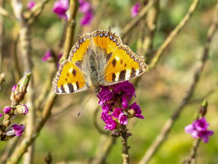 Small tortoiseshell butterfly, Aglais urticae on a bush branch with purple blossoms 写真素材