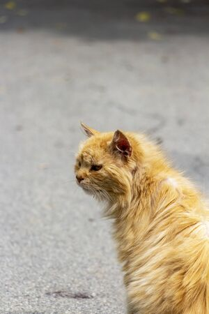Rear close view of a stray injured orange long-haired tomcat in a San Leo street on a blurred asphalt background in Province of Rimini, Region of Emilia-Romagna, Italy Stock Photo