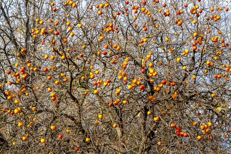 Diospyros kaki tree winter leafless branches high section view with ripe fruits in the village of Polysitos, Municipality of Vistonida, Xanthi Region, Greece