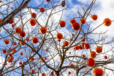 Selective focus of Diospyros kaki tree winter leafless branches with ripe fruits against the beautiful sunny November sky in the village of Polysitos, Municipality of Vistonida, Xanthi Region, Greece