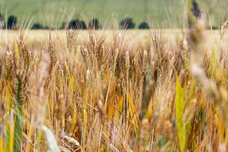 Selective focus of wheat ears in a cornfield, natural agricultural background, in Province of Macerata, Marche Region, Italy