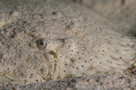 camouflaged: camouflaged in the sand flounder Stock Photo