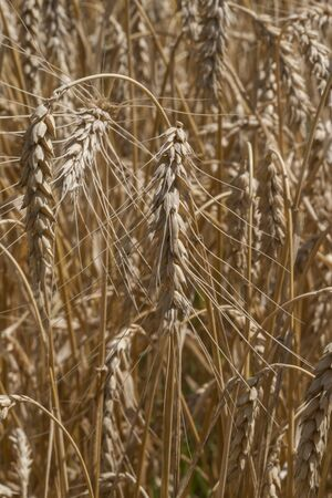 spikelets: Spikelets of wheat on the field Stock Photo