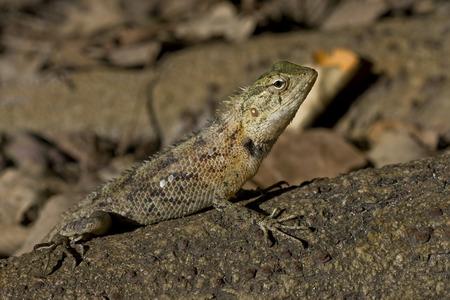 basking: Lizard basking in the sun
