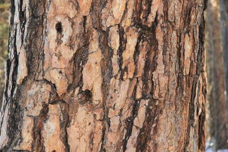 Een gerichte detaillijn van een berkenstam in een berkenbos verlicht door de zon.