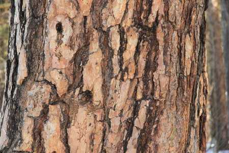 One focused line of detail of a birch trunk in a birch grove lit by the sun. Reklamní fotografie