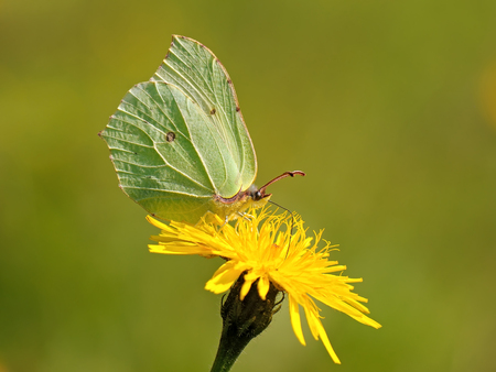 Butterfly (Gonepteryx rhamni) sitting on the flower of the summer field. Stock Photo