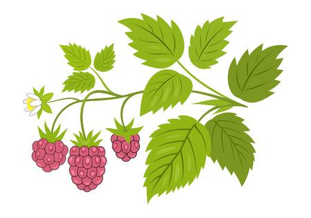 Himbeerzweig mit Beerenvektorillustration. Reife Himbeeren mit Blättern am Zweig, isoliert auf weiss.