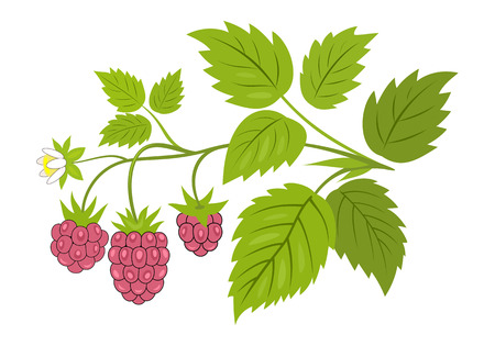 Raspberry branch with berries vector illustration. Ripe raspberries with leaves on the branch, isolated on white.