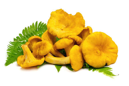 Fresh chanterelle mushrooms isolated on white background. Full depth of field with clipping path. Stock Photo
